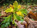Oak leaves (10493567083).jpg