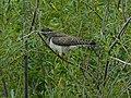 Obična kukavica (Cuculus canorus); Common Cuckoo.jpg