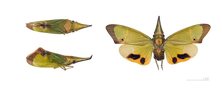 Odontoptera carrenoi - Museum specimen