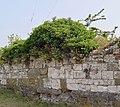 Old Ivy-clad Wall, Thornton Abbey - geograph.org.uk - 638813.jpg