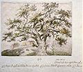 Old oak tree, Djurgården, Stockholm, Sweden (25785050926).jpg