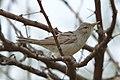 Olive-tree warbler, Hippolais olivetorum, at Mapungubwe National Park, Limpopo, South Africa. (46273356345).jpg