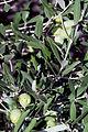 Olives(SALONENQUE) CL1. J Weber (2) (23122152666).jpg