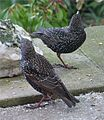 One leged starling and his mate.JPG