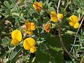 Ononis natrix Sardinia LM.jpg