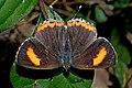 Open wing basking of Heliophorus epicles (Godart, (1824)) – Purple Sapphire (Female)DSC 5772 suntalekhola.jpg