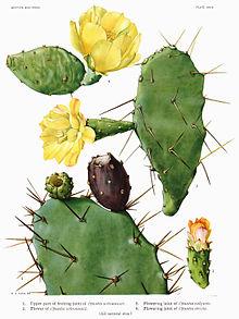 Plache botanique montrant tous les stades de la floraison et de la fructification de l'opuntia