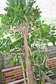 Opuntia Brasiliensis & America del Sur (1) (11982605895).jpg