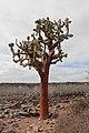 Opuntia echios, Santa Fe Island 02.jpg