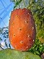 Opuntia ficus-indica 005.JPG