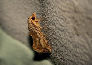<i>Oraesia emarginata</i> Species of moth