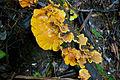 Orange Fungus, Otway Ranges, Victoria Australia (4890329556).jpg