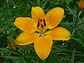Orange Lily (Lilium bulbiferum croceum) (8338515320).jpg