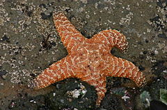 Orange Starfish at Olympic National Park.jpg