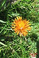 Orange hawkweed (Gru) (37738662452).jpg