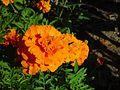 Orange marigolds clarkson.jpg