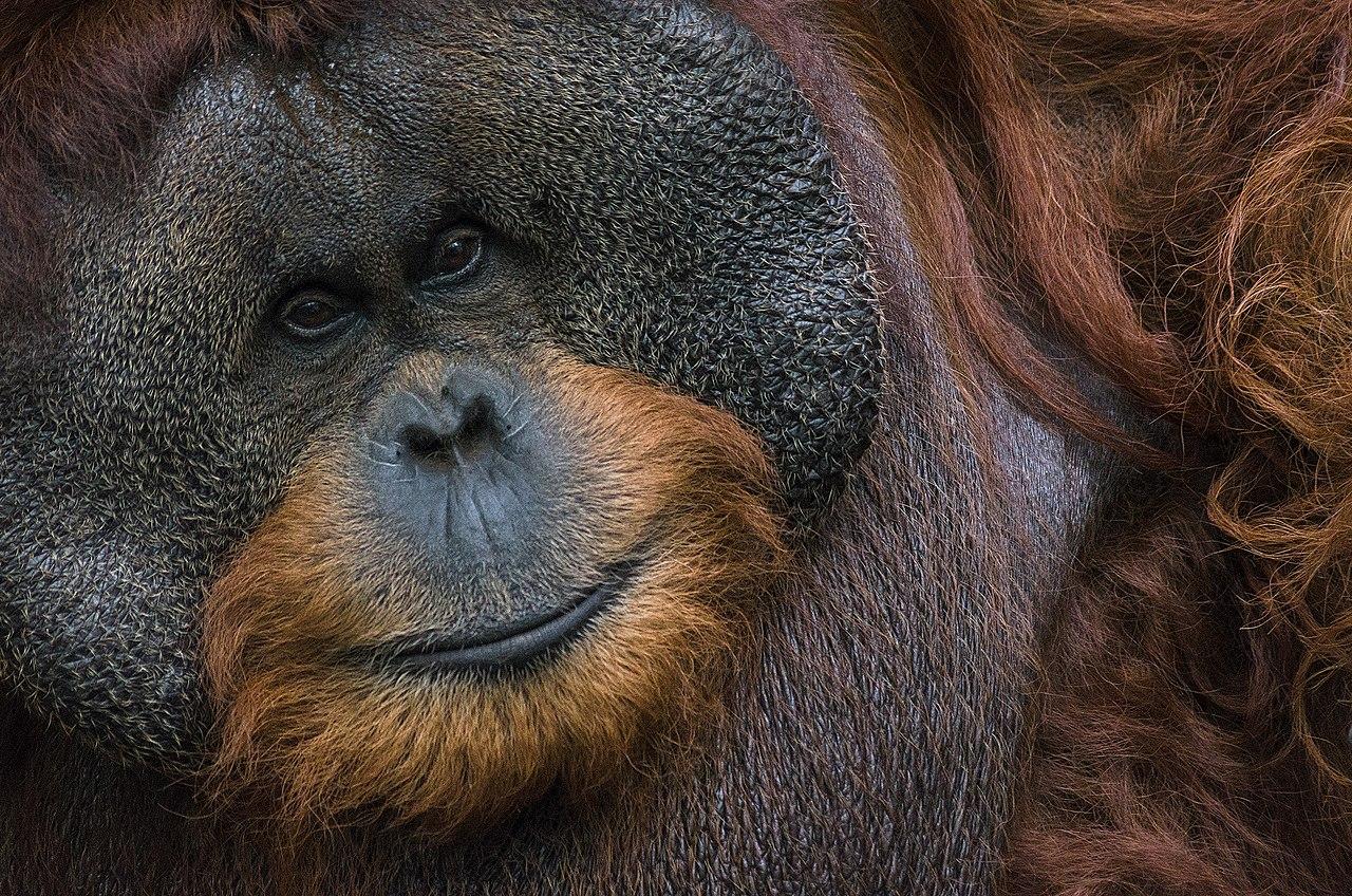 Portrait d'un orang-outan de Bornéo (Pongo pygmaeus wurmbii), photographié à Bogor. L'espèce est considérée en danger critique d'extinction.  (définition réelle 2400×1590)