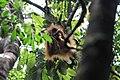Orangutan Tapanuli Anakan.jpg