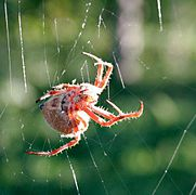 Orb weaver spider day web2.jpg