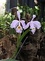Orchid Siblings.jpg