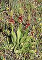 Orchis anthropophora Spanien Orchi 068.jpg