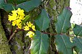 Oregon Grape - geograph.org.uk - 401414.jpg