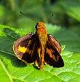Oriens goloides - Smaller Dartlet 04.JPG