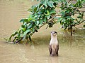 Oriental Small-clawed Otter (15026315265).jpg