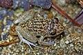 Oriente Mottled Frog (Eleutherodactylus simulans) (8571332615).jpg