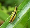Orthoptera (48692119033).jpg