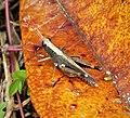 Orthoptera (48710110603).jpg