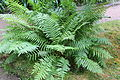 Osmundastrum cinnamomeum-IMG 9791.JPG