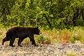 Oso negro (Ursus americanus), Parque natural provincial Tatshenshini-Alsek, Yukón, Canadá, 2017-08-25, DD 84.jpg