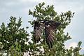 Osprey - Águila Pescadora (Pandion haliaetus carolinensis) (10786132184).jpg