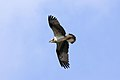 Osprey - Rutland Water April 2010 (4511777025).jpg