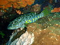 Othos dentex Harlequin fish P1021162.JPG