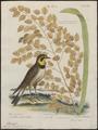 Otocoris alpestris - 1700-1880 - Print - Iconographia Zoologica - Special Collections University of Amsterdam - UBA01 IZ16100313.tif