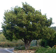 Outeniqua Yellowwood.JPG