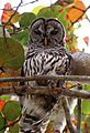 Owl Barred 61.JPG