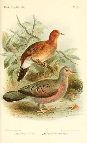 Columbina (genus) - Blue-eyed ground-dove (above), and Ecuadorian ground dove (below); illustration by Keulemans, 1893