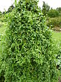 P1000627 Bryonia dioica (Cucurbitaceae) Plant.JPG