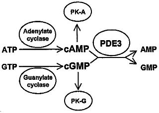 Phosphodiesterase 3 class of enzymes