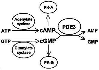 Phosphodiesterase 3 - Figure 1: Role of PDE3 in cAMP- and cGMP-mediated signal transduction. PK-A: Protein kinase A (cAMP dependent). PK-G: Protein kinase G (cGMP-dependent).