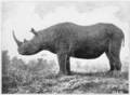 PSM V59 D024 Rhinoceros simus burchell.png