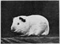 PSM V77 D430 An albino guinea pig father of the black young.png