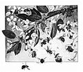 Paa kirsebaergrenen - on cherry branch.jpg