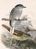 Pachyramphus albogriseus Keulemans.jpg