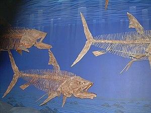 Pachyrhizodus - Pachyrhizodus caninus skeletons