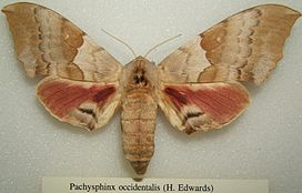 Pachysphinx occidentalis sjh.JPG