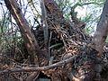 Packrat Nest - Flickr - treegrow.jpg
